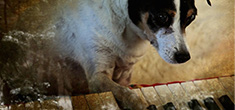 [dreamy image of black and white dog with right paw on piano keys]